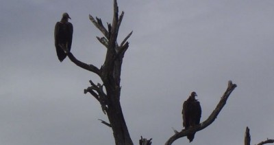 image of vultures waiting in a tree